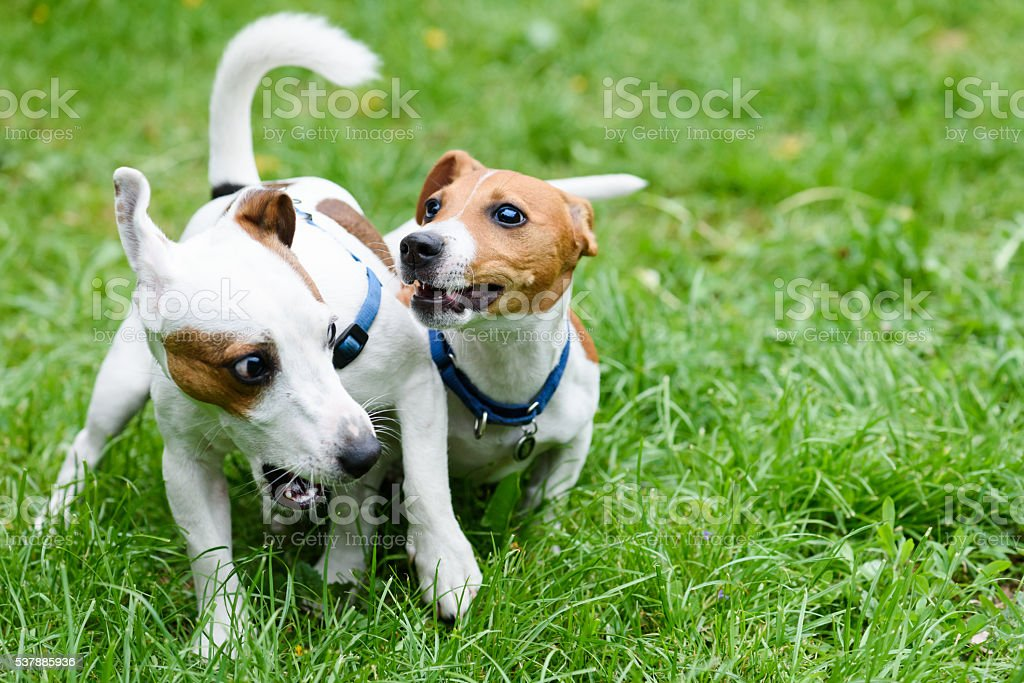 Two funny pet dogs playing on green grass stock photo