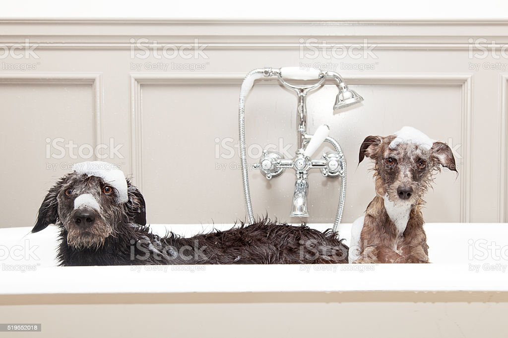 Two funny wet dogs in bathtub stock photo