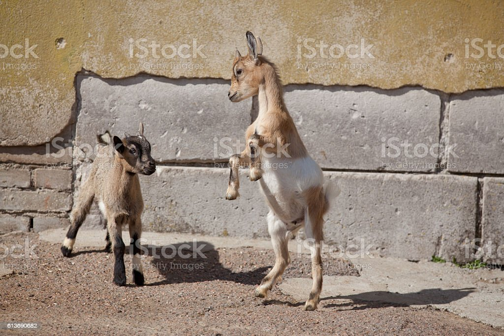 Two funny young goatlings stock photo