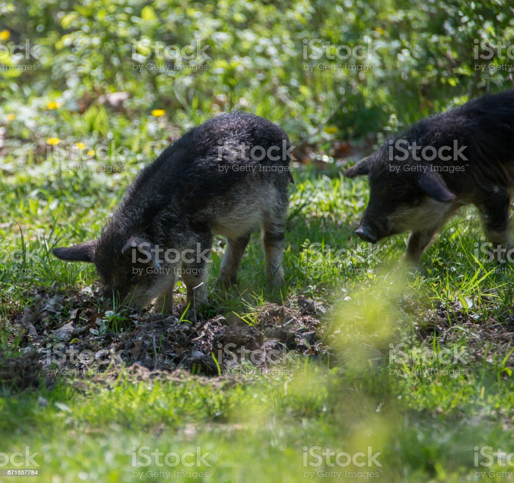 Two furry pigs look for food in the foliage stock photo