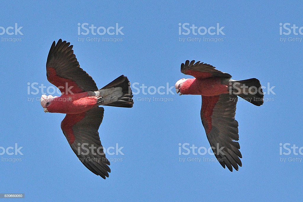 Two Galahs flying and chatting stock photo