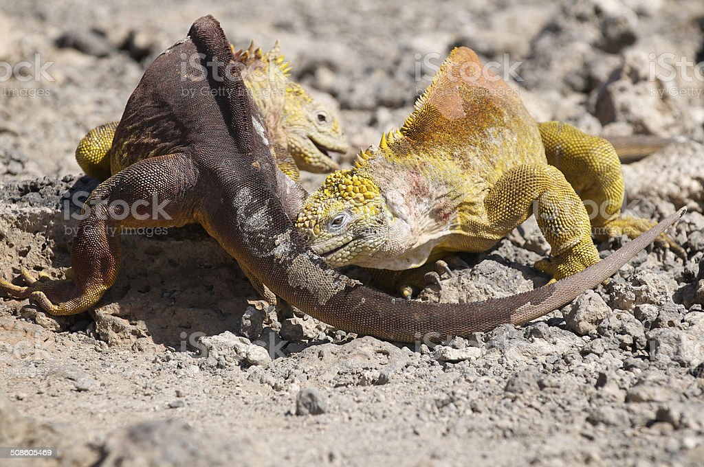 Two Galapagos Iguanas Fighting in the Dirt stock photo
