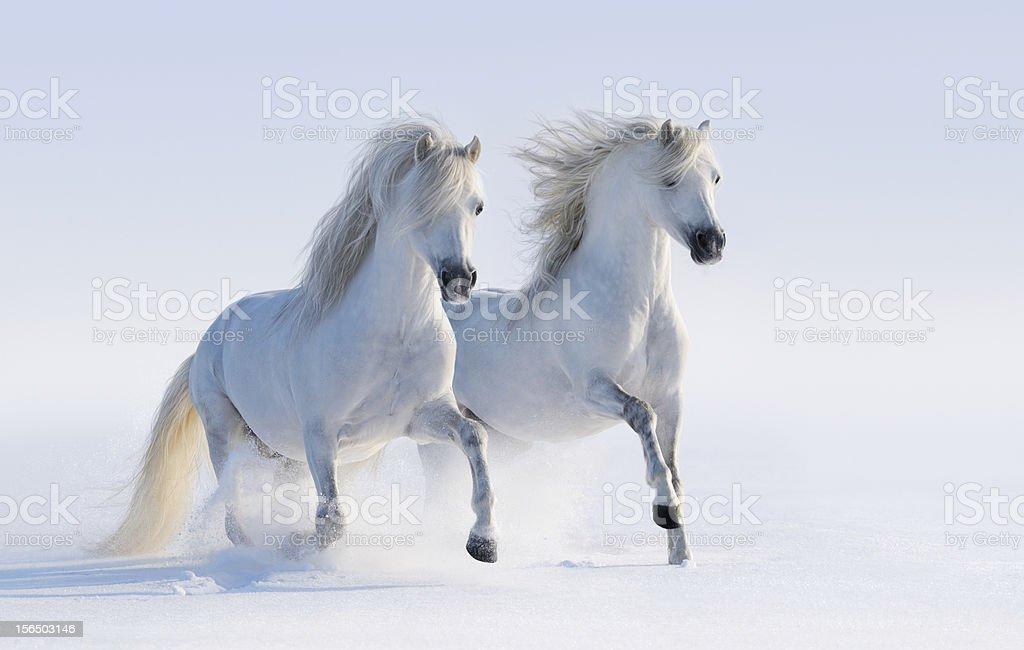 Two galloping snow-white horses stock photo