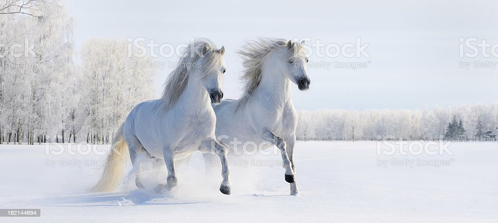 Two galloping white ponies stock photo