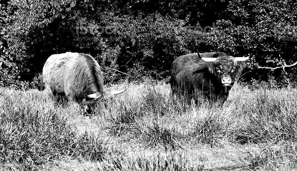 Two Galloways stock photo
