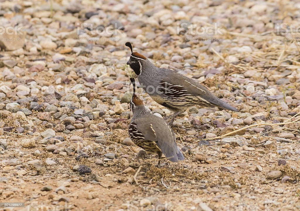 Two Gambel's Quail (Callipepla gambelii) royalty-free stock photo