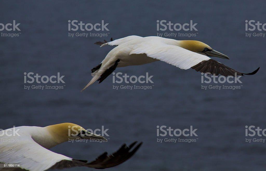 Two Gannets in Flight stock photo