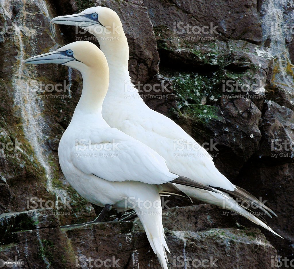 Two gannets on Bass Rock stock photo
