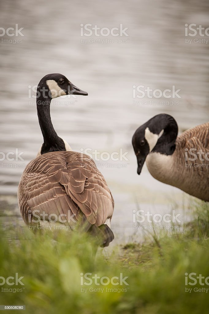 Two geese along the pond edge stock photo