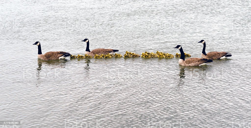 Two Geese Families Swing Huddled Together Goose Chicks stock photo