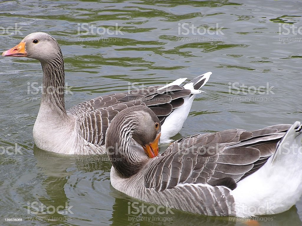 Two Geese stock photo
