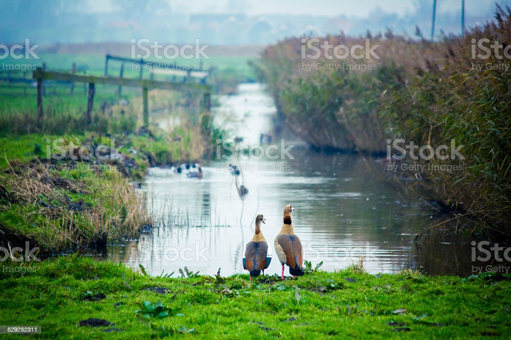 Two geese standing together (horizontal) stock photo