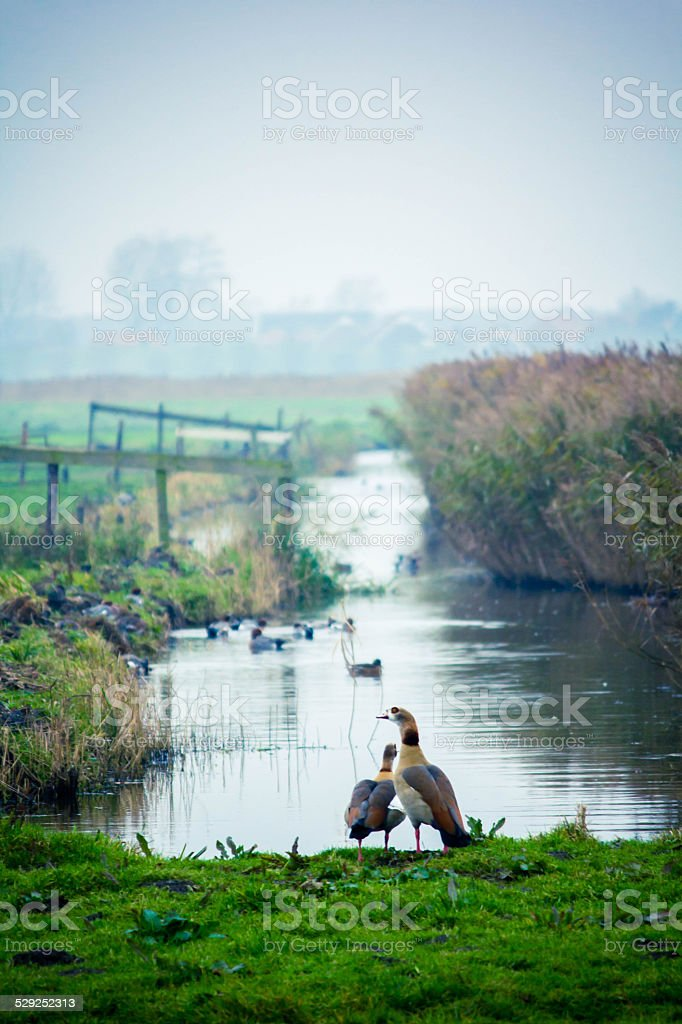 Two geese standing together (vertical) stock photo