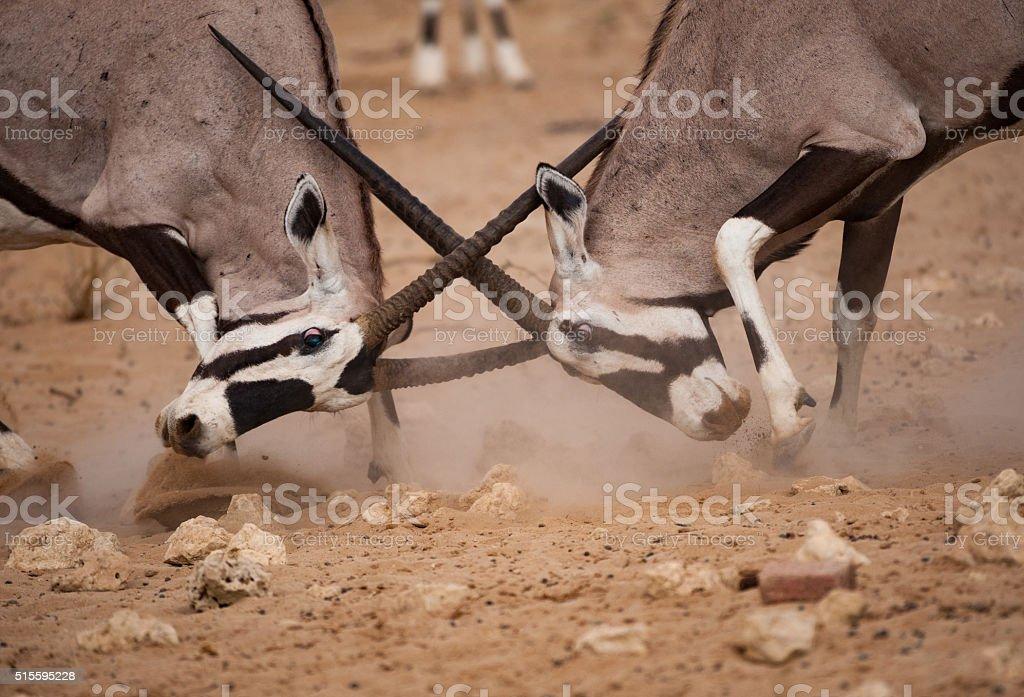 Two gemsbok, oryx gazelle, fight stock photo