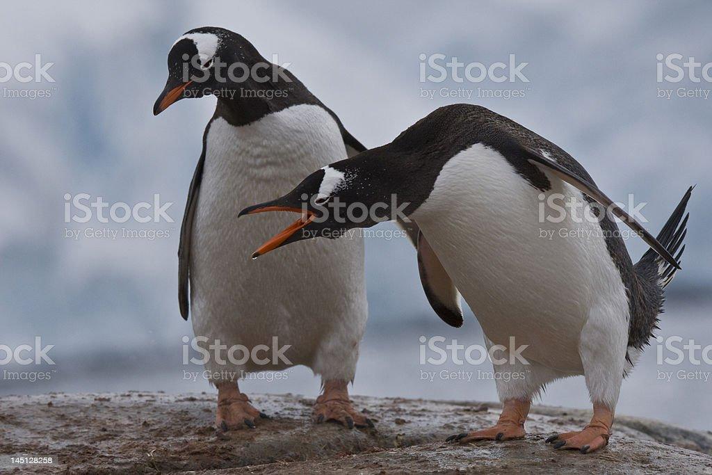 two Gentoo Penguins in Antarctica stock photo
