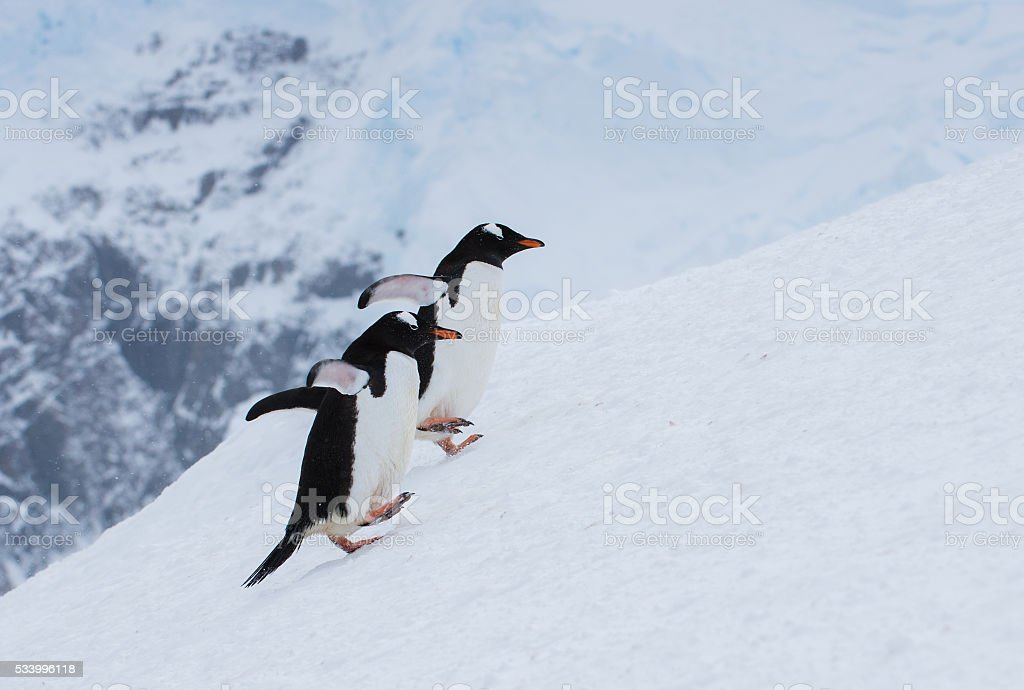 Two Gentoo penguins walking uphill in snow in Antarctica stock photo
