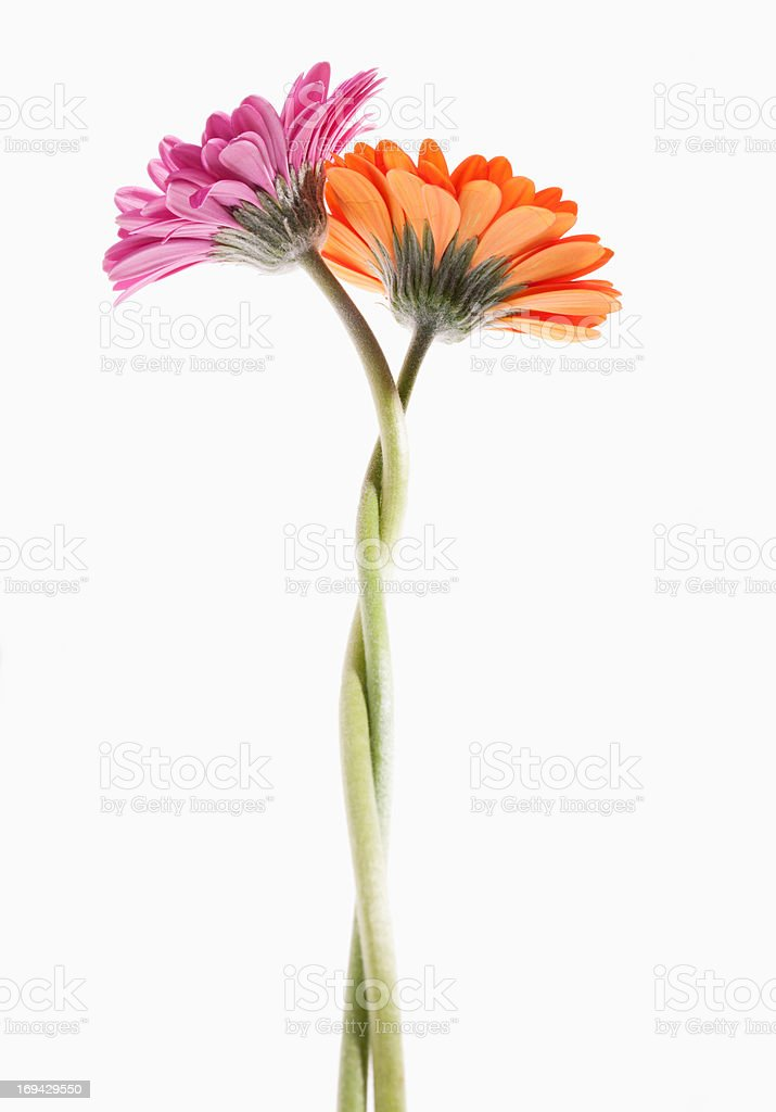 Two gerbera daisies intertwined stock photo