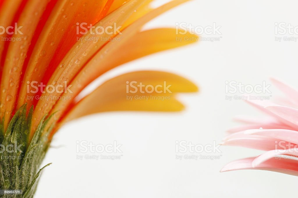 two gerbera daisy flowers against pale white stock photo
