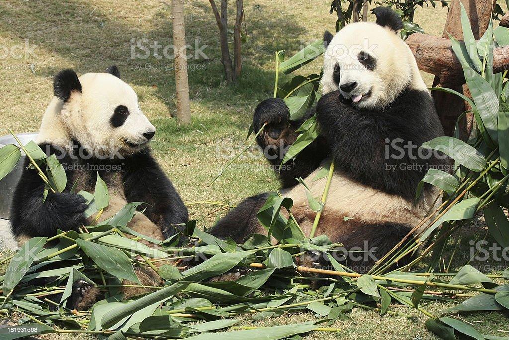 Two giant panda eating royalty-free stock photo
