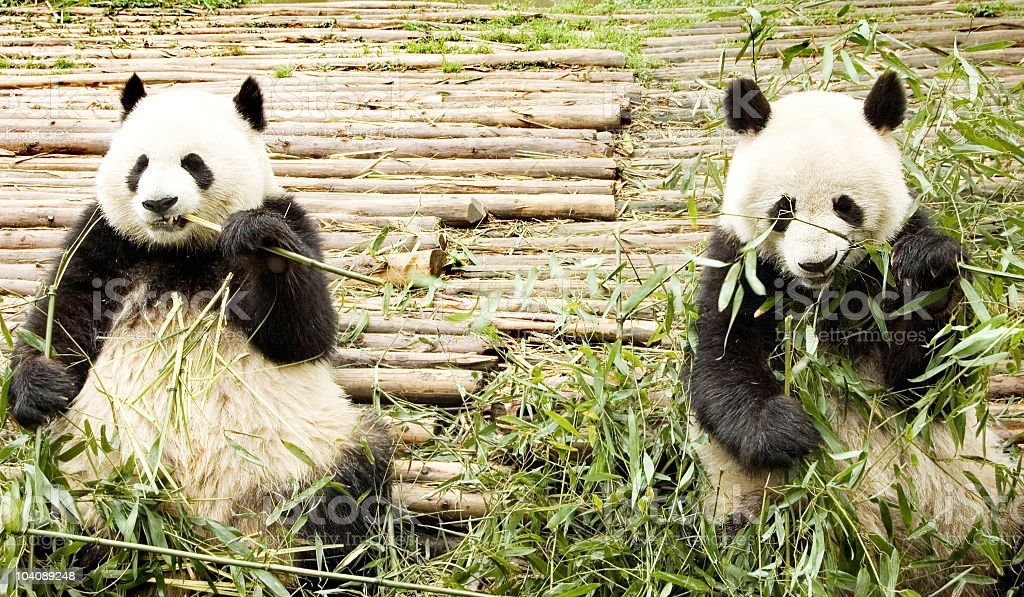 two giant panda stock photo