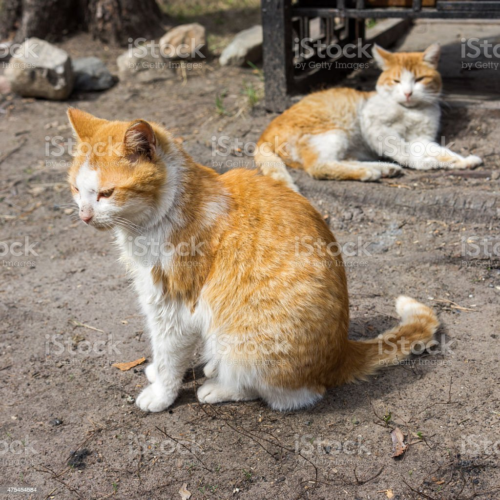 two ginger striped cats resting on a sidewalk stock photo