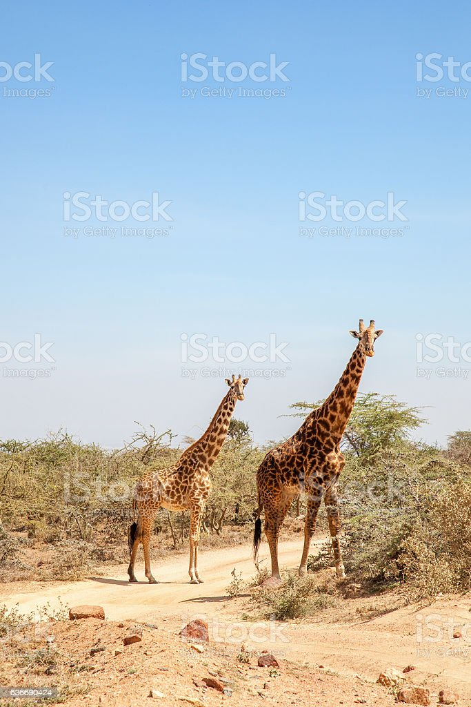 Two giraffes at a dirt road in Africa stock photo