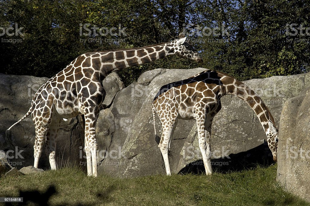 two giraffes courting royalty-free stock photo