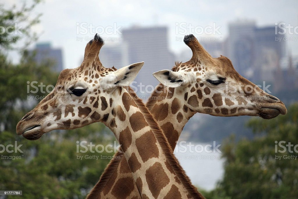 Two giraffes crossing paths form an 'X' stock photo