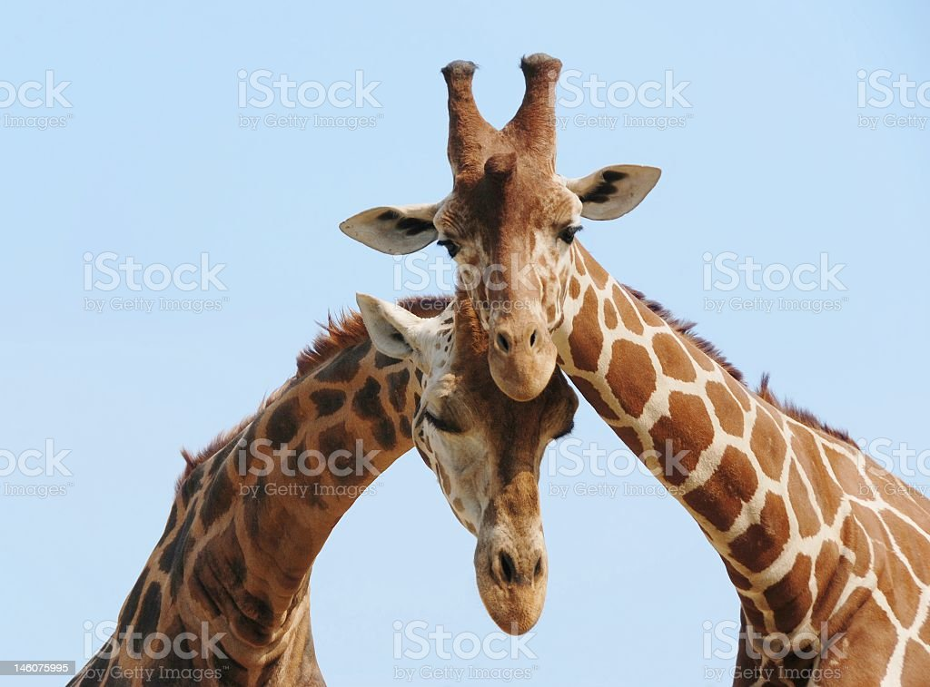 Two giraffes leaning against each other stock photo