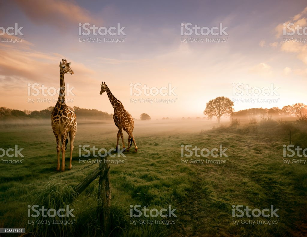 Two giraffes royalty-free stock photo