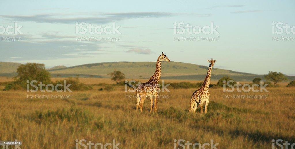 Two Giraffes stock photo