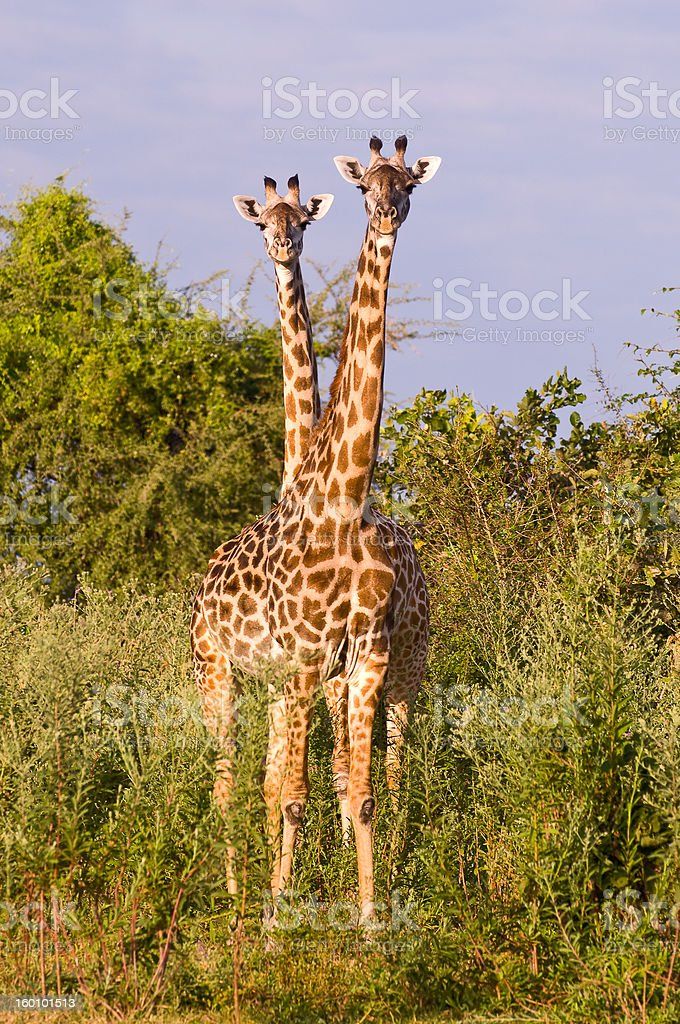 Two giraffes stand together appearing as one. stock photo