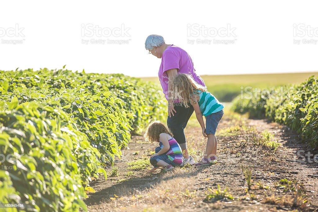 Two Girls & Grandma In Trail Between Two Soybean Fields stock photo