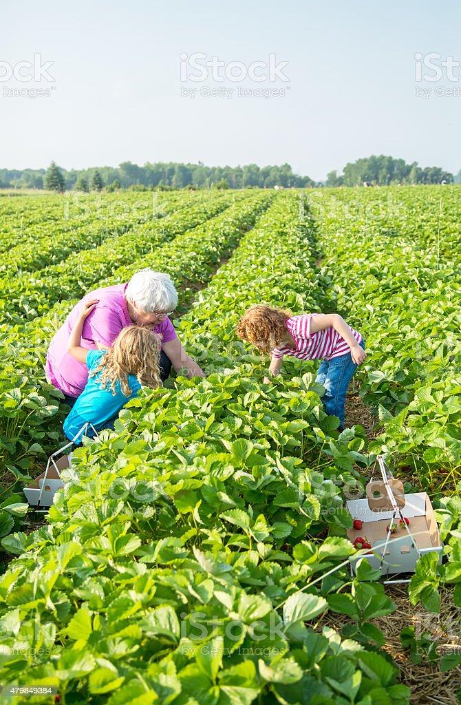 Two Girls & Grandma Picking Strawberries stock photo