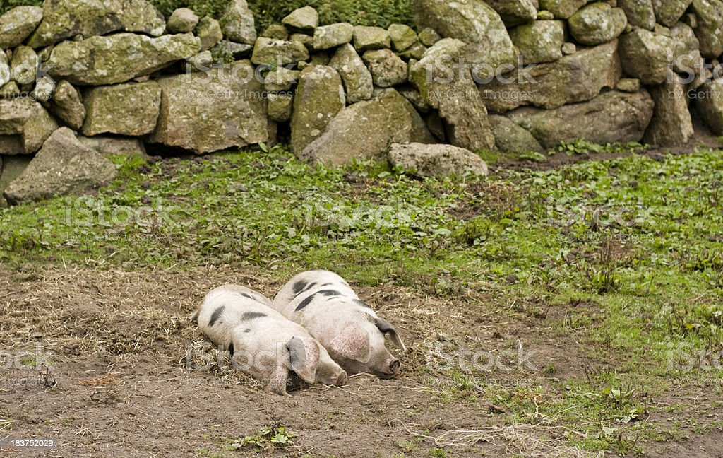 Two Gloucestershire Old Spot pigs stock photo