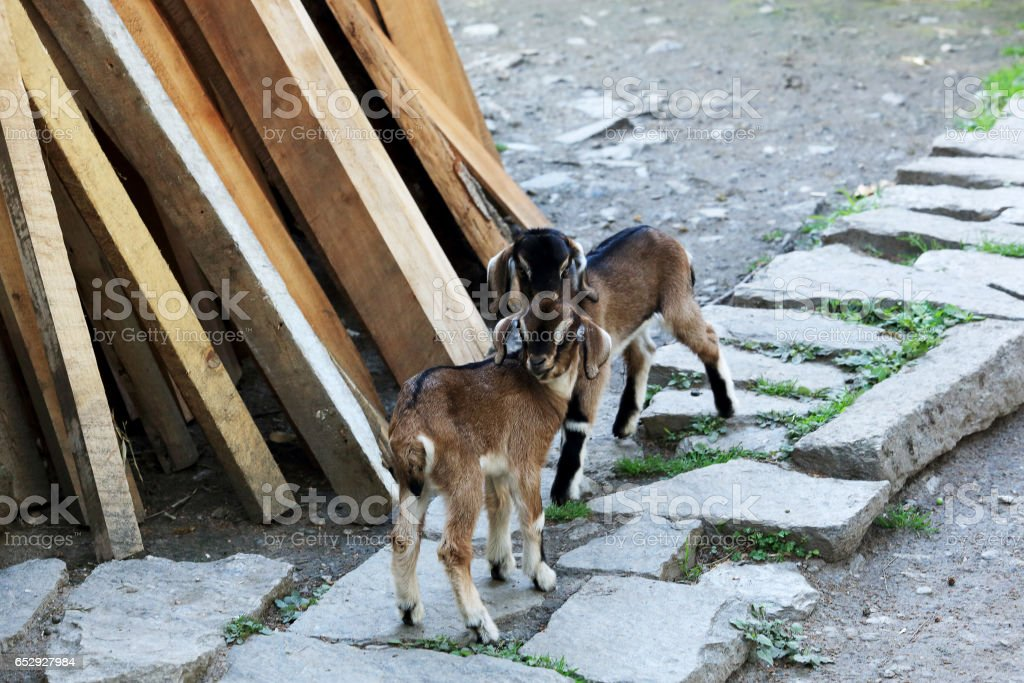 Two goatling on a stone path. Everest region, Nepal stock photo