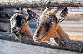two goatling peeping from behind wooden fence in the aviary