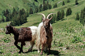 two goats in swiss