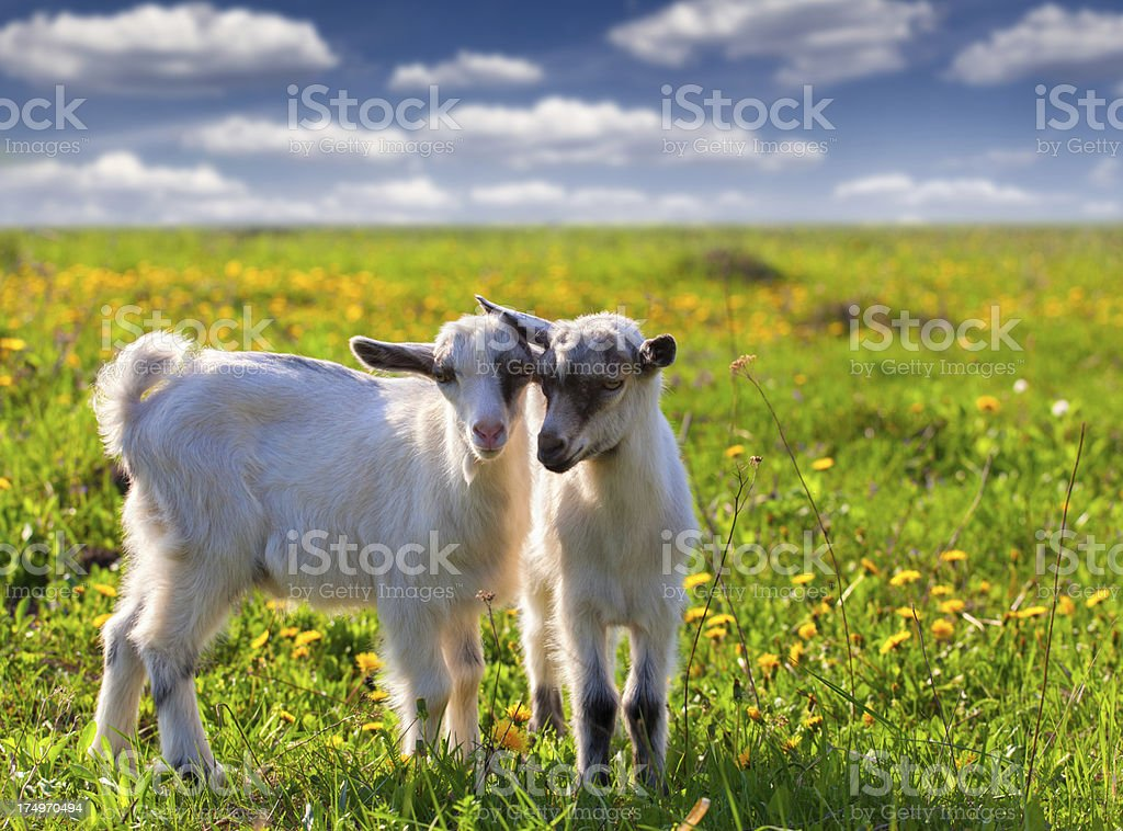 Two goats on a green lawn at summer stock photo