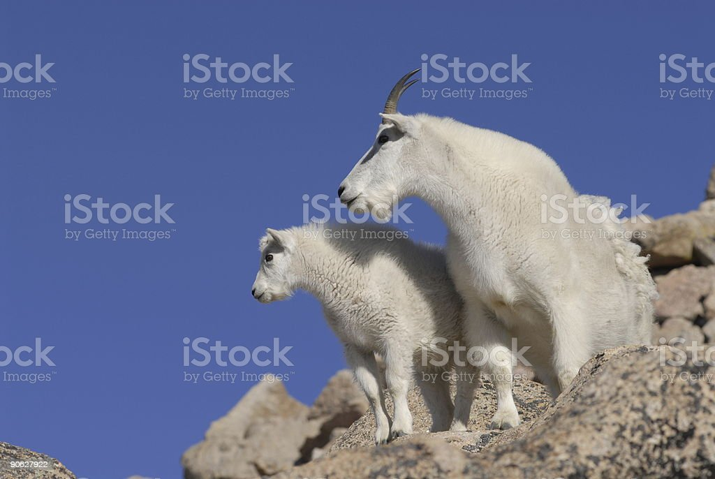 Two Goats royalty-free stock photo