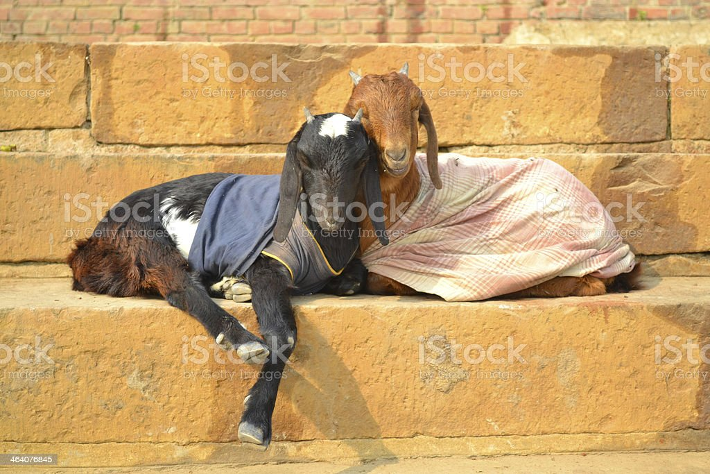 Two goats with clothing like a couple stock photo