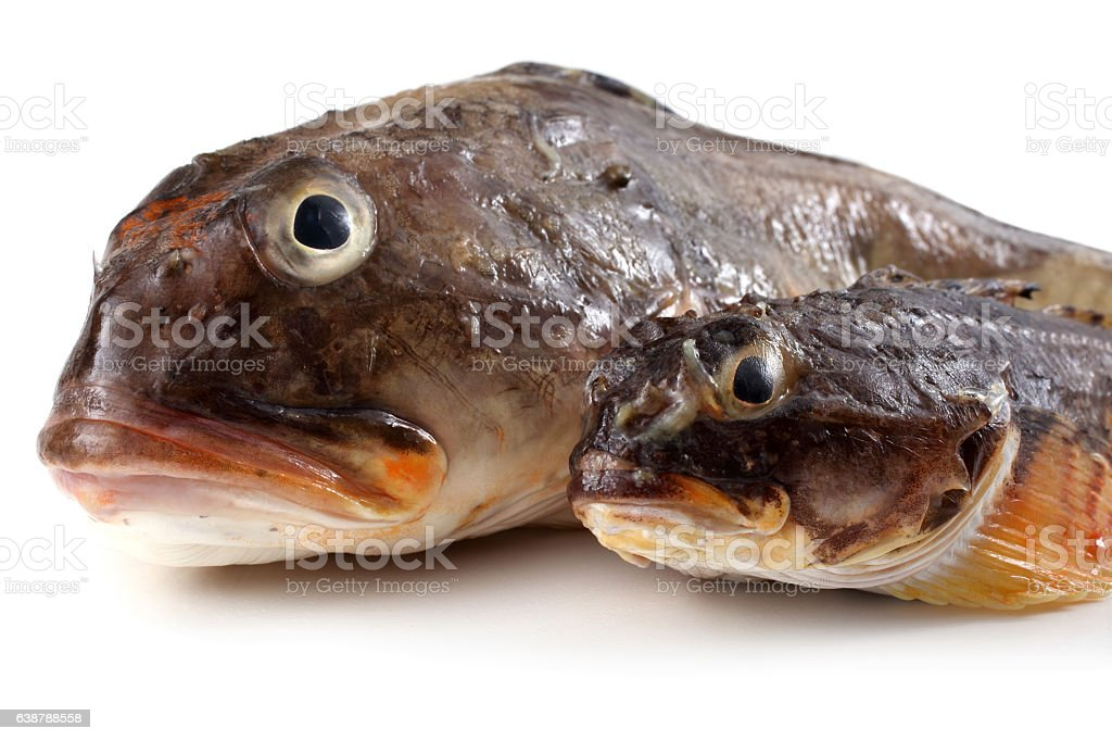 Two goby fishes stock photo