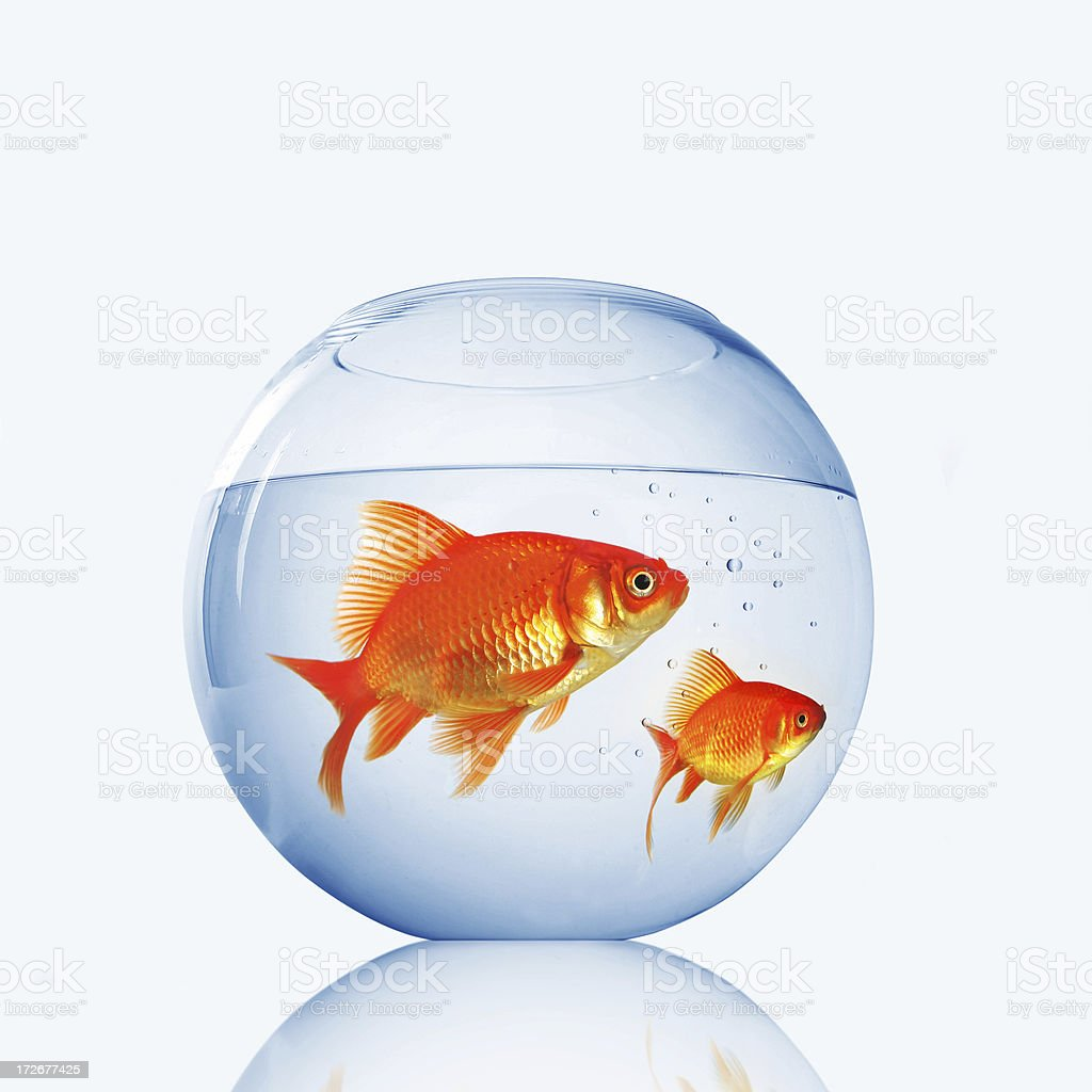 Two gold fishes royalty-free stock photo