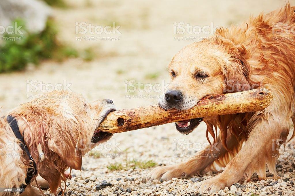 Two golden retrievers dogs stock photo