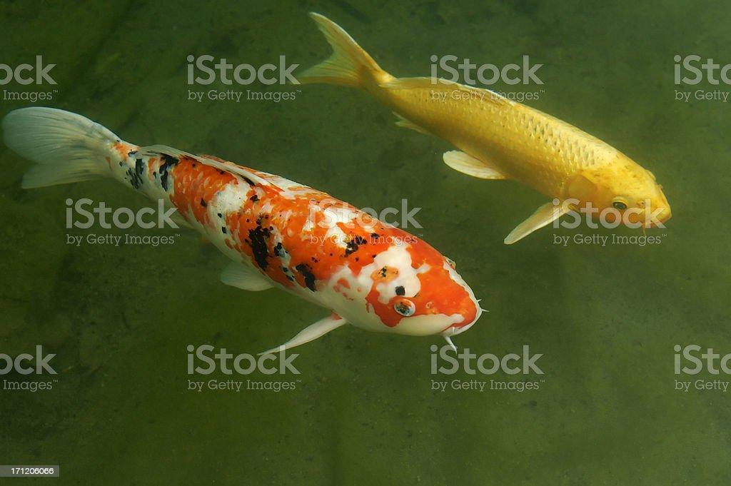 Two goldfish royalty-free stock photo