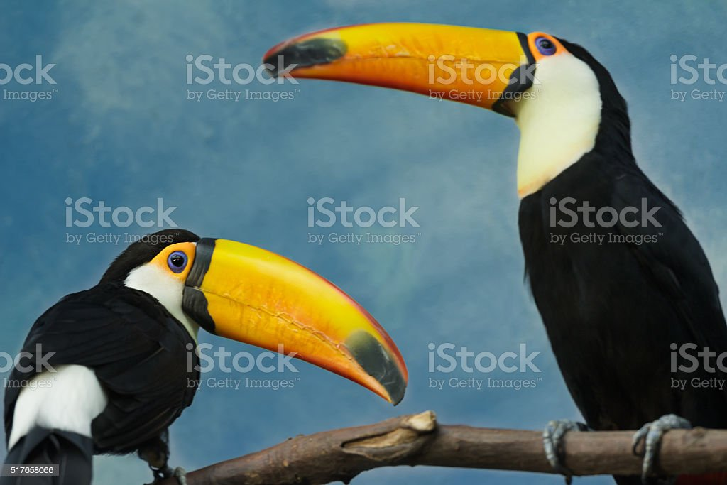 Two gorgeous adult toco toucan birds perched on tree branch stock photo