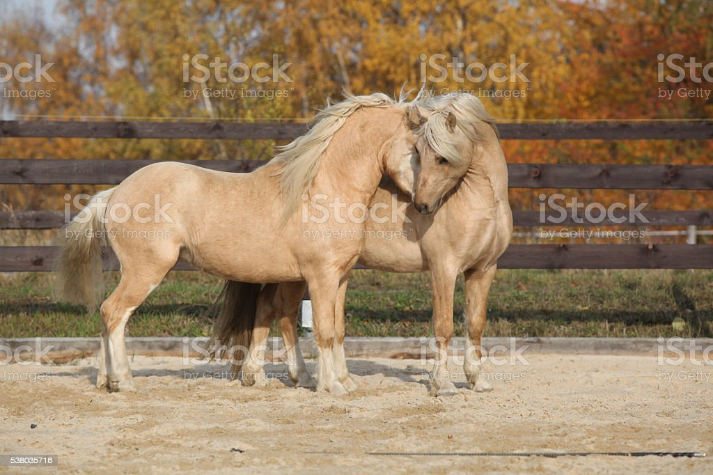 Two gorgeous welsh pony stallions playing together stock photo