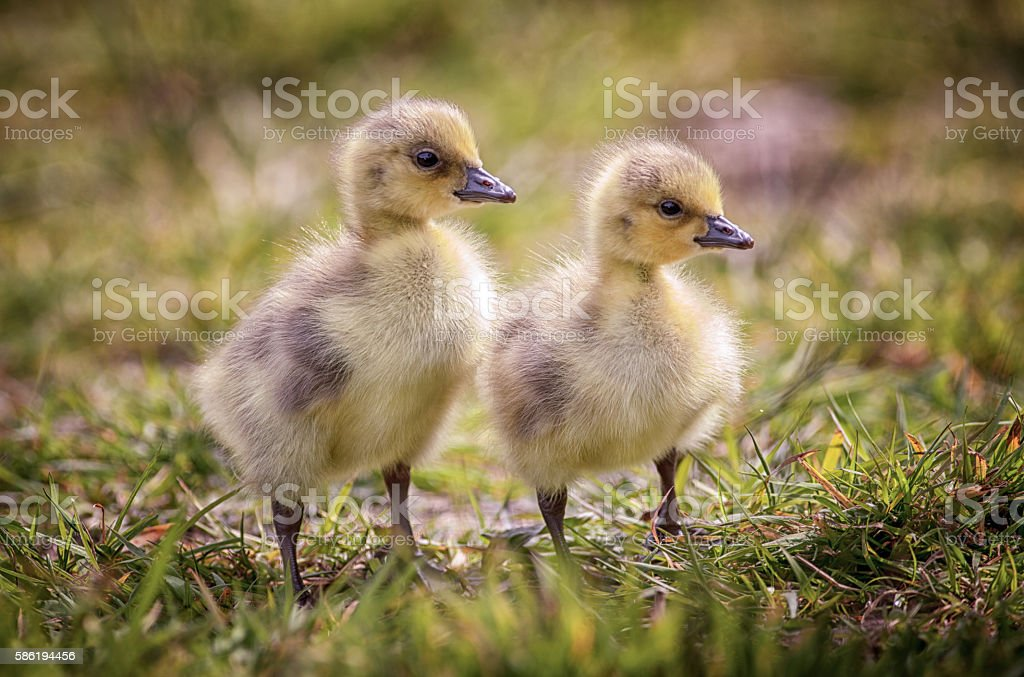 Two goslings Canada Geese stock photo