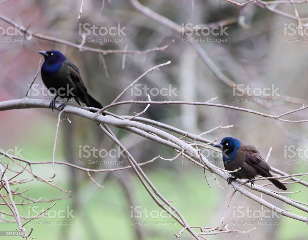 Two Grackles on Tree Limb stock photo