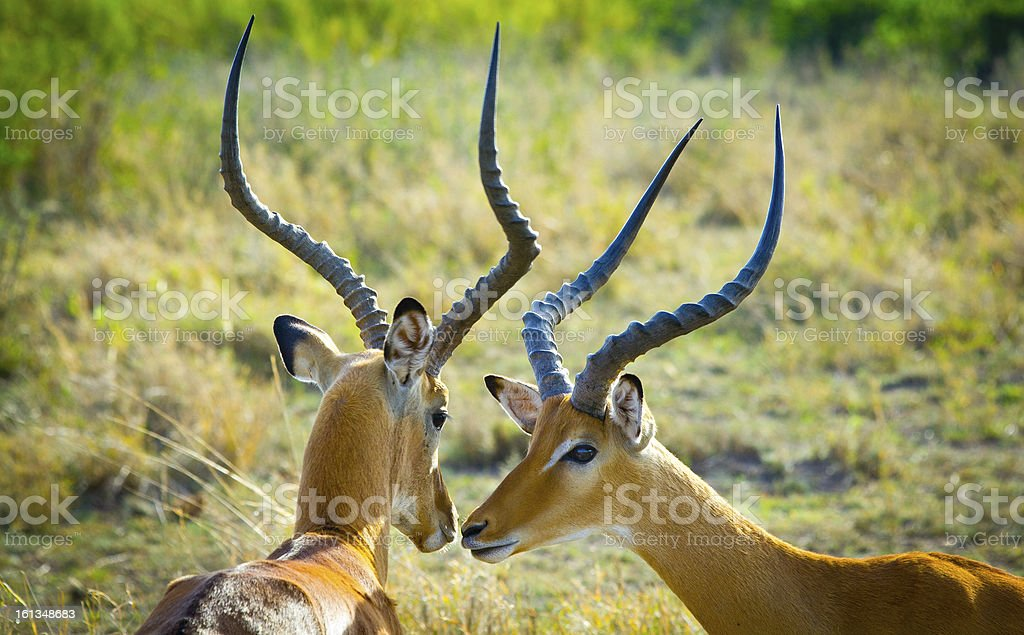 Two Grant's Gazelles kissing royalty-free stock photo